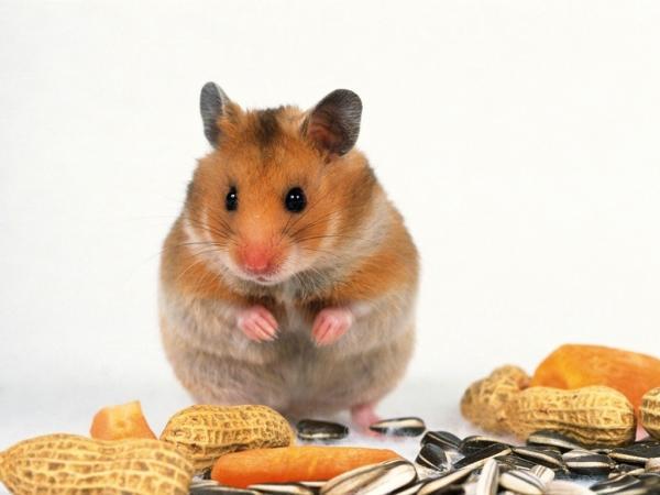hámster cachetón hamster cacheton