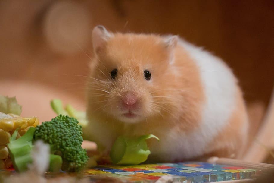 que verduras pueden comer los hamsters rusos