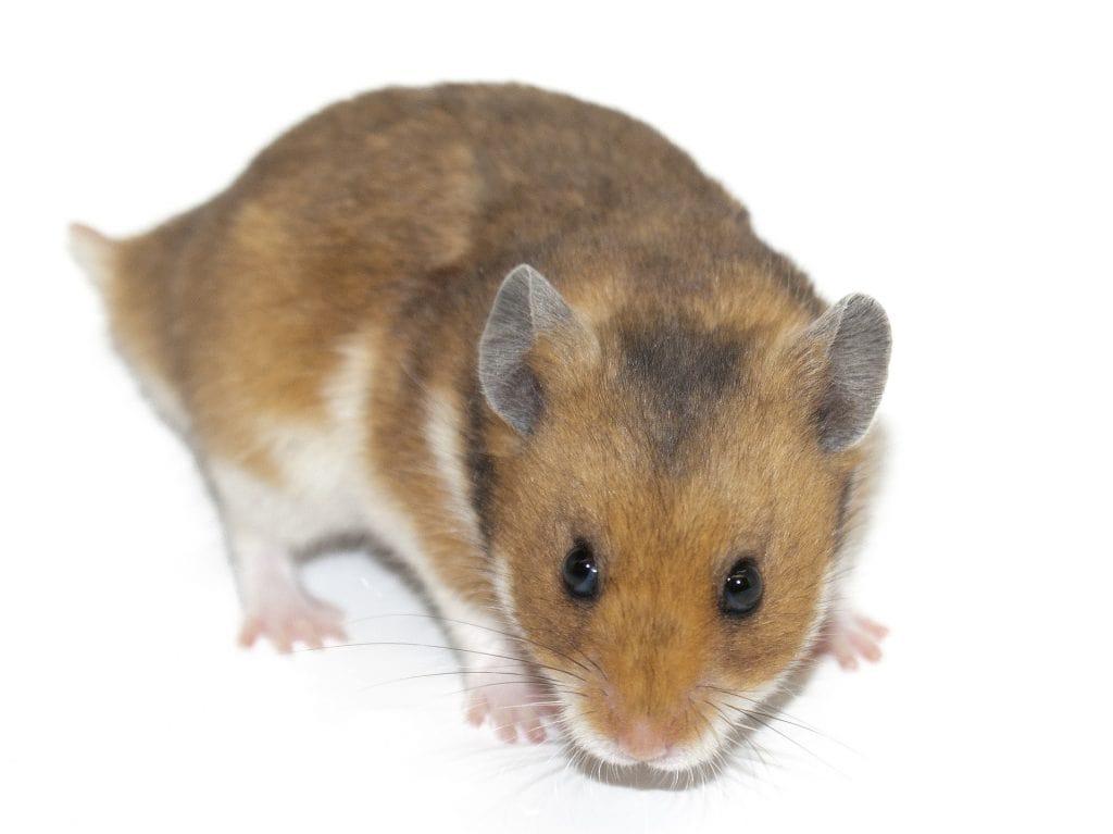 hamster sirio gris, hasmter.com