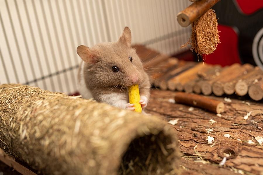 hamster jaula alt om hamster