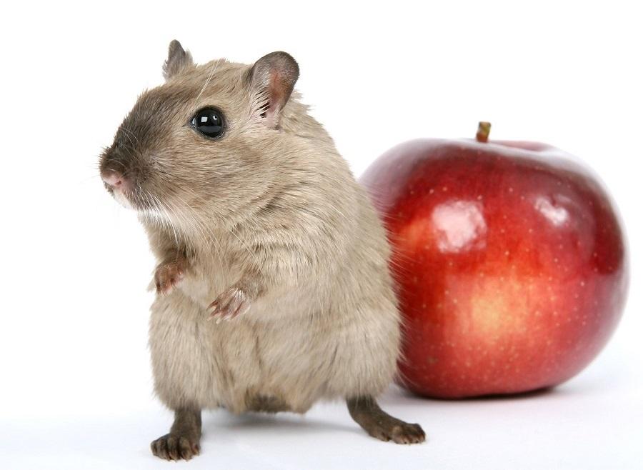 el hamster mas bonito del mundo