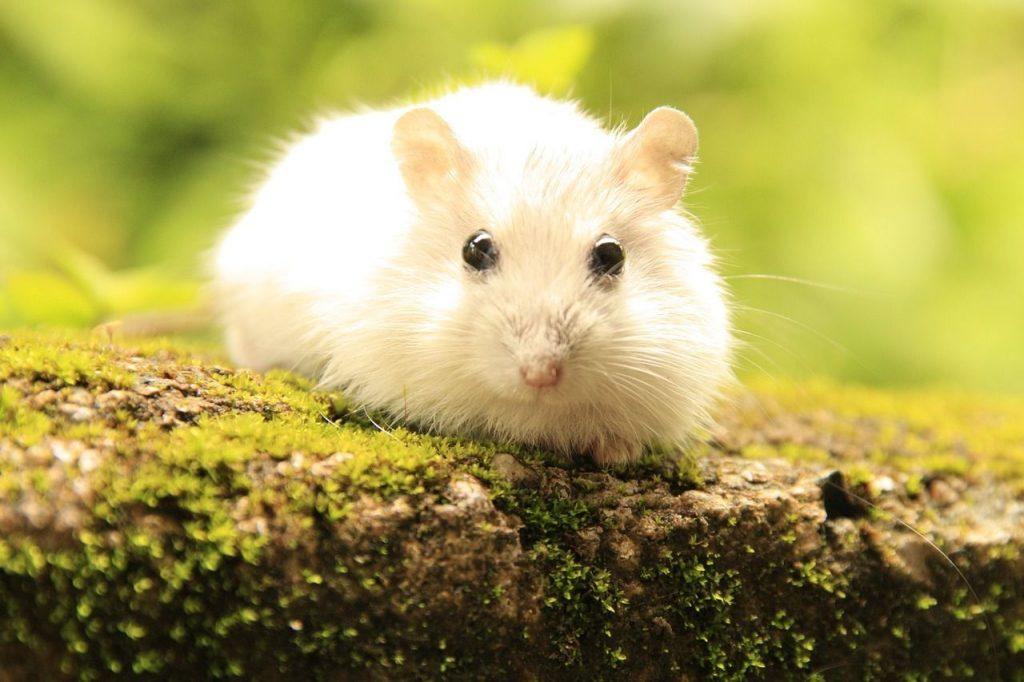 hamsteres nature: los hamster mas lindos del mundo