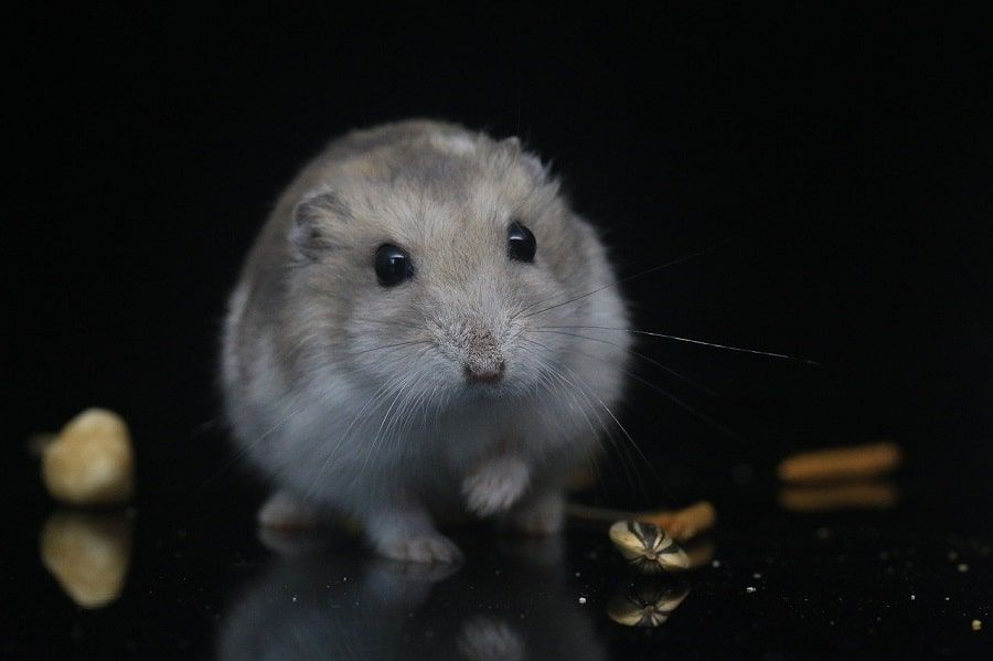 hamster roborowskii