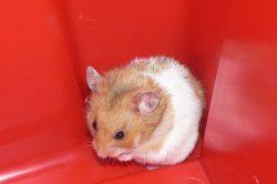 hamster triste