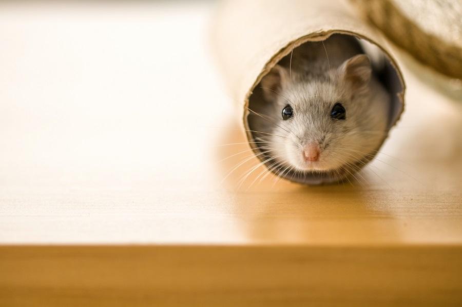 hamster tubo