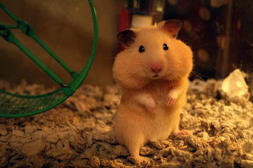 hamster cacheton meme