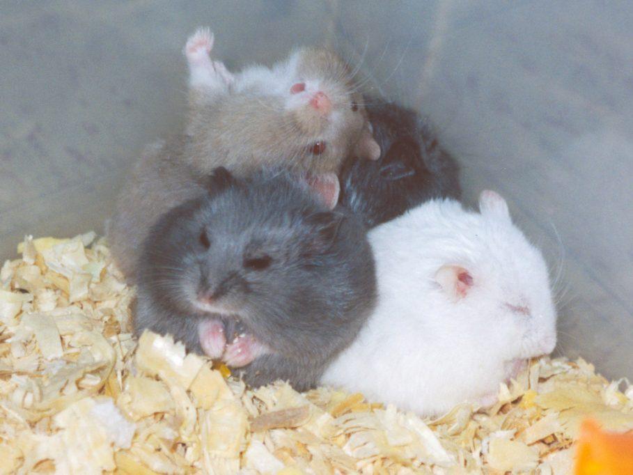 hamster cambell