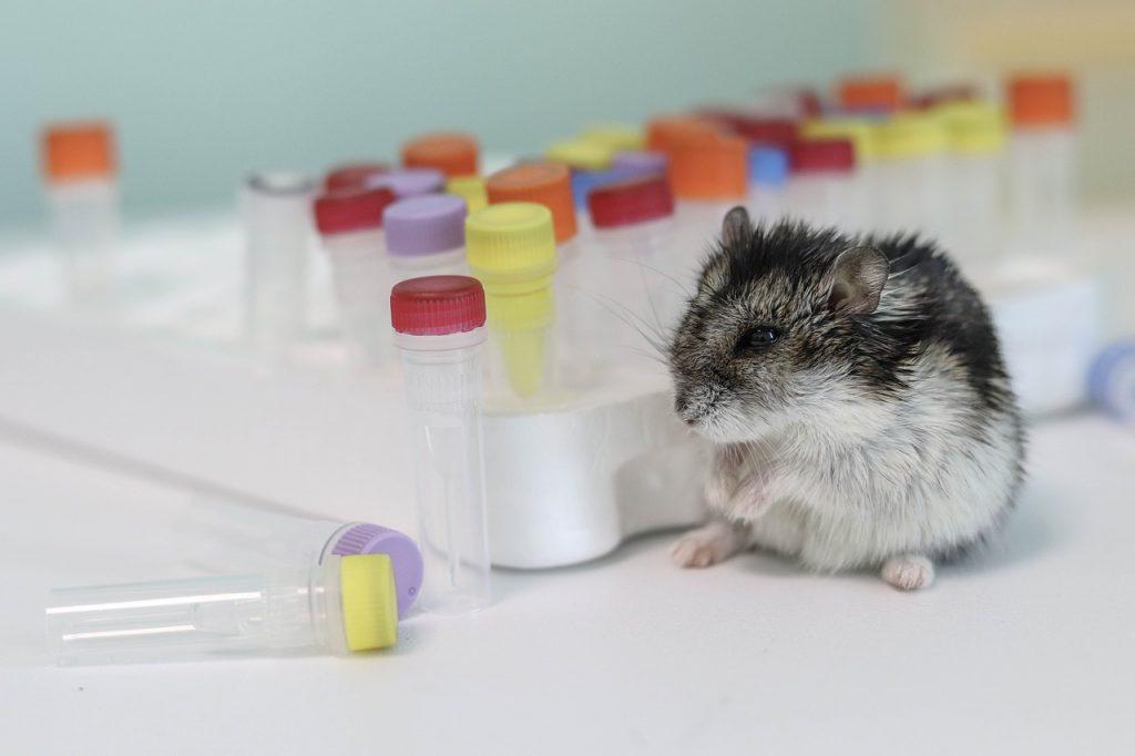 hamster cambell hamster campell