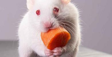 Hamster-Albino-La-guia-definitiva-para-Hamsters