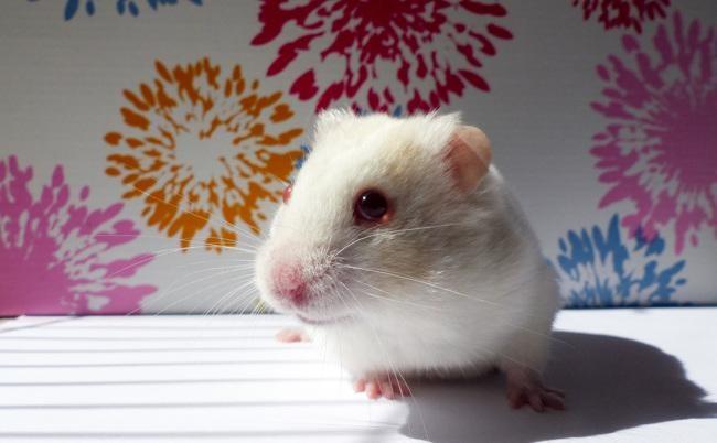 Hámster Albino cuanto viven
