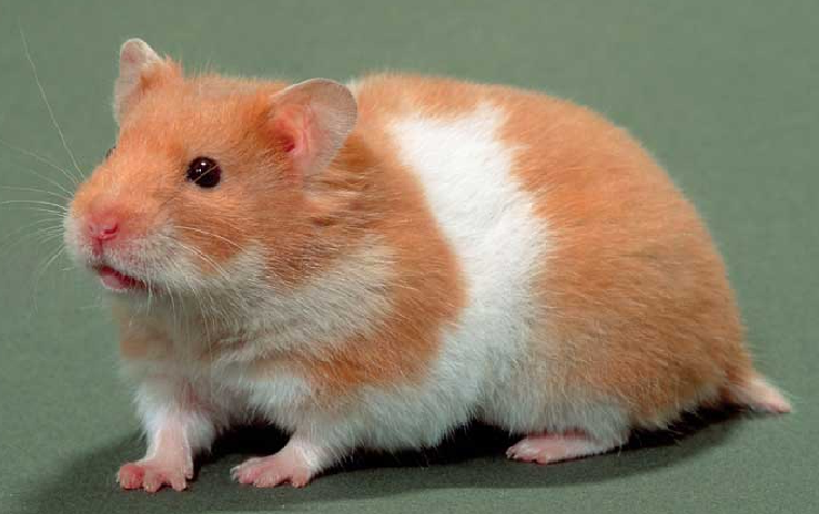 Hamster Arlequin La guia definitiva para Hamsters
