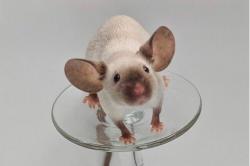 Hamster Siames La guia definitiva para Hamsters