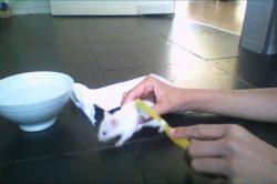 como limpiar a un hamster